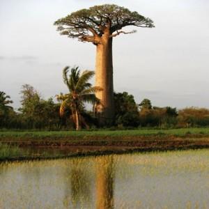 L'arbre baobab biologique sauvage Adansonia digitata
