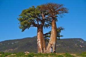 Le baobab biologique sauvage