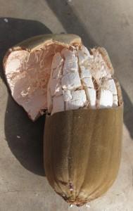 Le fruit du baobab biologique ouvert laissant apparaître la pulpe si précieuse pour la santé humaine et animal