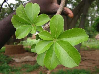 La feuille de baobab